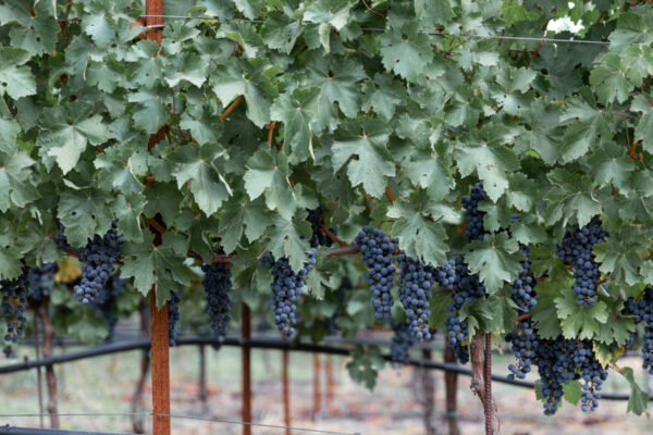 Oak Knoll Cabernet at Dawn - Web size (1 of 1)