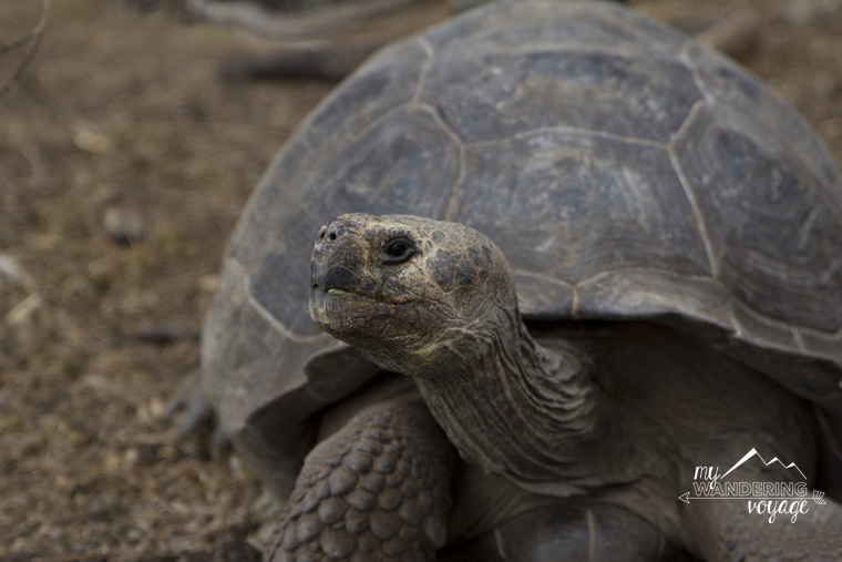 Giant Tortoise on Floreana Galapagos | My Wandering Voyage Travel Blog