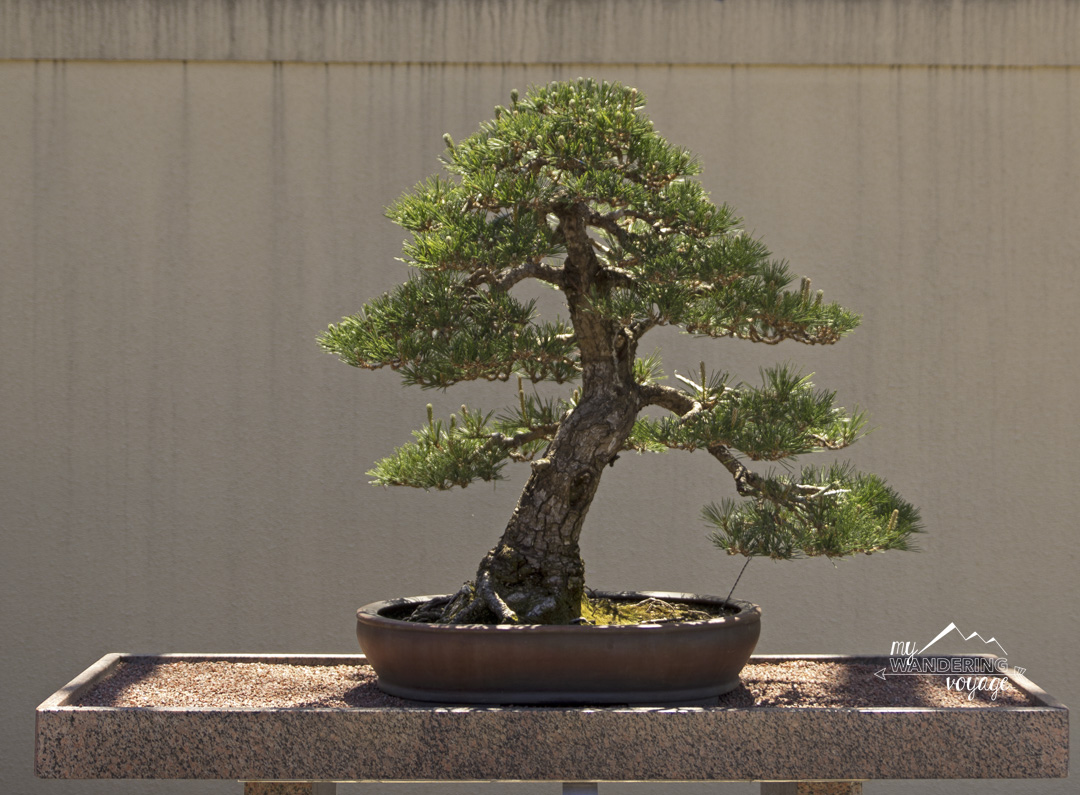 Bonsai tree at the Japanese Gardens in the Montreal Botanical Gardens - 14 essential experiences for a weekend in Montreal, Quebec, Canada | My Wandering Voyage travel blog