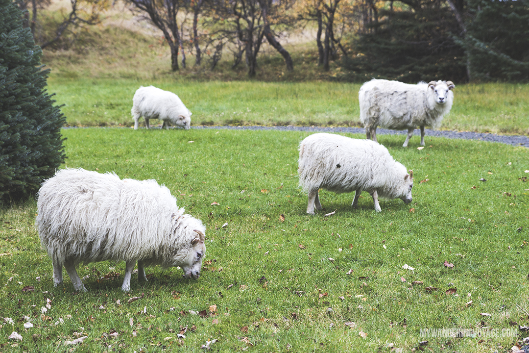 Icelandic sheep - The Golden Circle is a well-known destination in Iceland, and it's easy to see why. The Golden Circle is part of a road loop that can be seen in a day from Reykjavik and hits some of Iceland's most famous landmarks   My Wandering Voyage travel blog