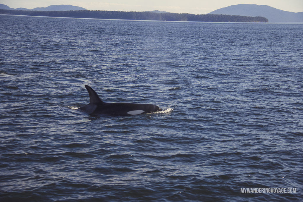 Whale Watching in Victoria, British Columbia | Whale watching is one of the best experiences to have in British Columbia. With so many whales calling the Salish Sea home, it's the best place to view Orcas in their natural habitat. Take a whale watching tour with Eagle Wing Whale and Wildlife Watching Tours. | My Wandering Voyage travel blog