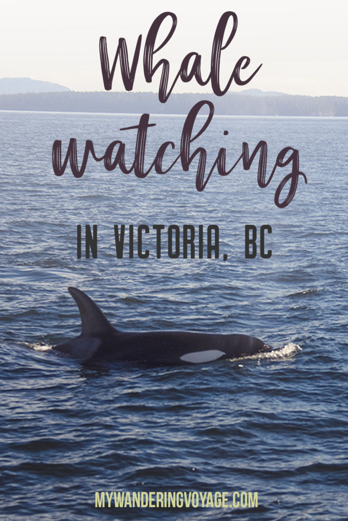 Whale watching is one of the best experiences to have in British Columbia. With so many whales calling the Salish Sea home, it's the best place to view Orcas in their natural habitat. Take a whale watching tour with Eagle Wing Whale and Wildlife Watching Tours. #whalewatching #wild4whales #orcas #britishcolumbia #thingstodoinbritishcolumbia #victoria #victoriabc #thingstodoinvictoriabc #travel #canada