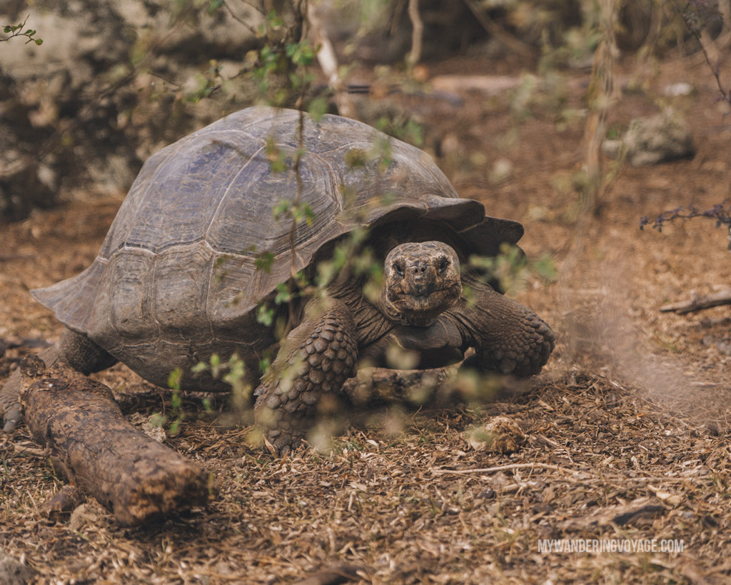 Galapagos Giant Tortoise | What to pack for the Galapagos Islands. Find out what to bring, what to leave at home, when the best time to visit the Galapagos Islands is, and other tips in this Galapagos packing list. | My Wandering Voyage travel blog #travel #galapagos #galapagosislands #packing list