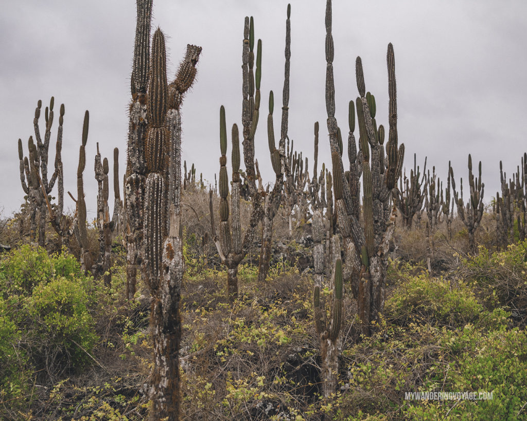 Cacti forest Galapagos | What to pack for the Galapagos Islands. Find out what to bring, what to leave at home, when the best time to visit the Galapagos Islands is, and other tips in this Galapagos packing list. | My Wandering Voyage travel blog #travel #galapagos #galapagosislands #packing list
