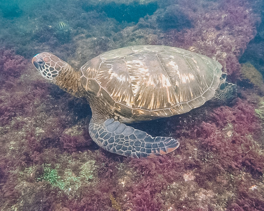 Galapaos Green turtle | A trip to the Galapagos Islands will be unforgettable, and with these Galapagos Islands travel tips, you'll be sure to have a worry-free trip from start to finish. | My Wandering Voyage travel blog #galapagos #galapagosislands #travel #traveltips #Ecuador #southamerica