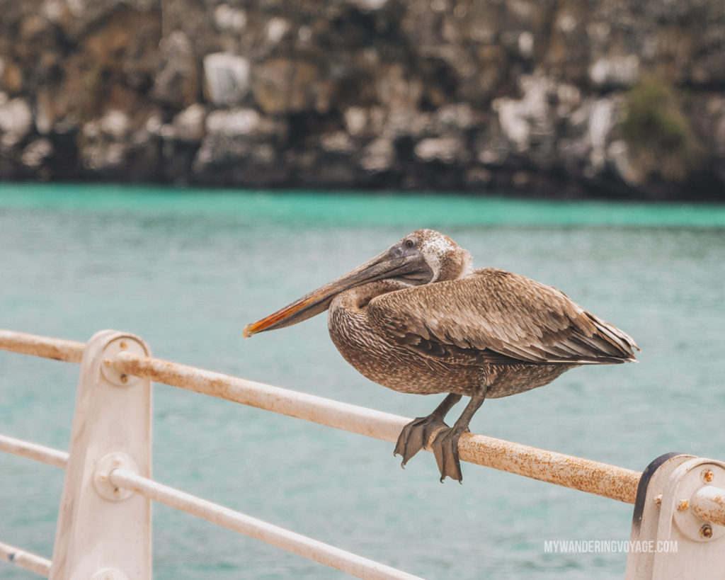 Pelican | A trip to the Galapagos Islands will be unforgettable, and with these Galapagos Islands travel tips, you'll be sure to have a worry-free trip from start to finish. | My Wandering Voyage travel blog #galapagos #galapagosislands #travel #traveltips #Ecuador #southamerica