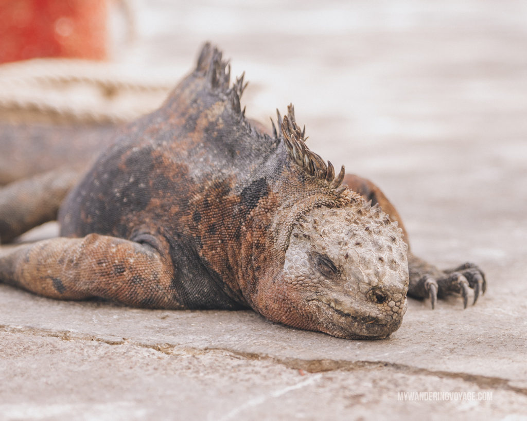 Marine Iguana | A trip to the Galapagos Islands will be unforgettable, and with these Galapagos Islands travel tips, you'll be sure to have a worry-free trip from start to finish. | My Wandering Voyage travel blog #galapagos #galapagosislands #travel #traveltips #Ecuador #southamerica
