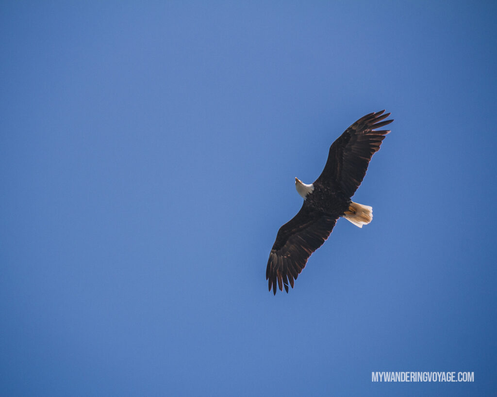 Bald Eagle overhead in Tofino | Vancouver Island road trip 5 day itinerary | My Wandering Voyage