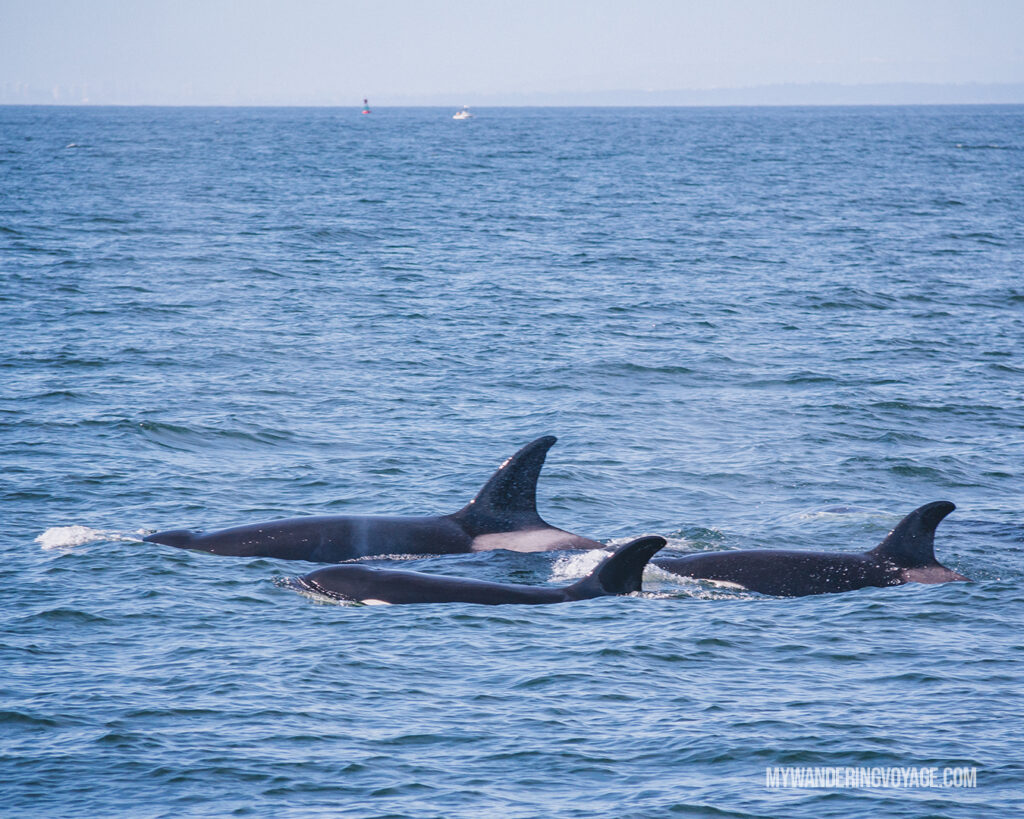whale watching near Victoria BC | Vancouver Island road trip 5 day itinerary | My Wandering Voyage