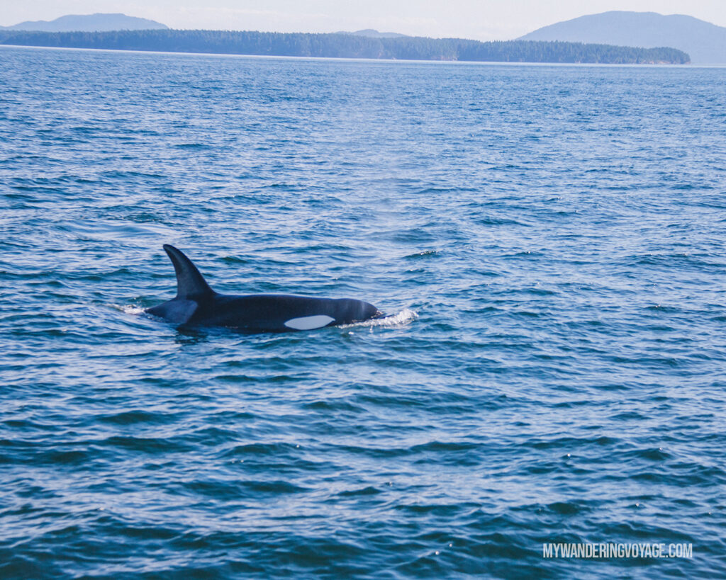 Orca Whale Watching in Victoria | Vancouver Island road trip 5 day itinerary | My Wandering Voyage