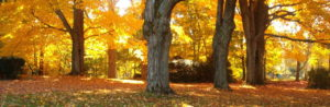 Our trees in fall