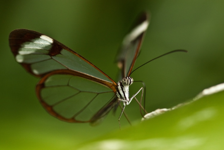 Glasswin Butterfly with Transparent Wings