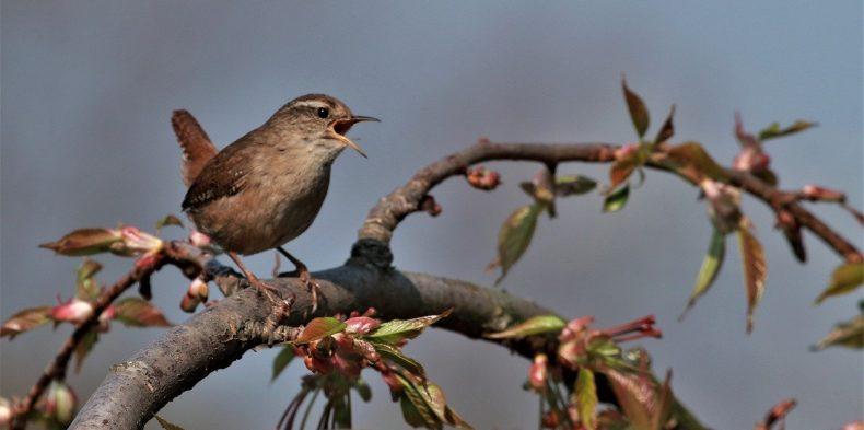 Wren-Singing Cute Outdoor