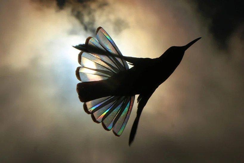 Christian Spencer - Rainbows hummingbird wings 4