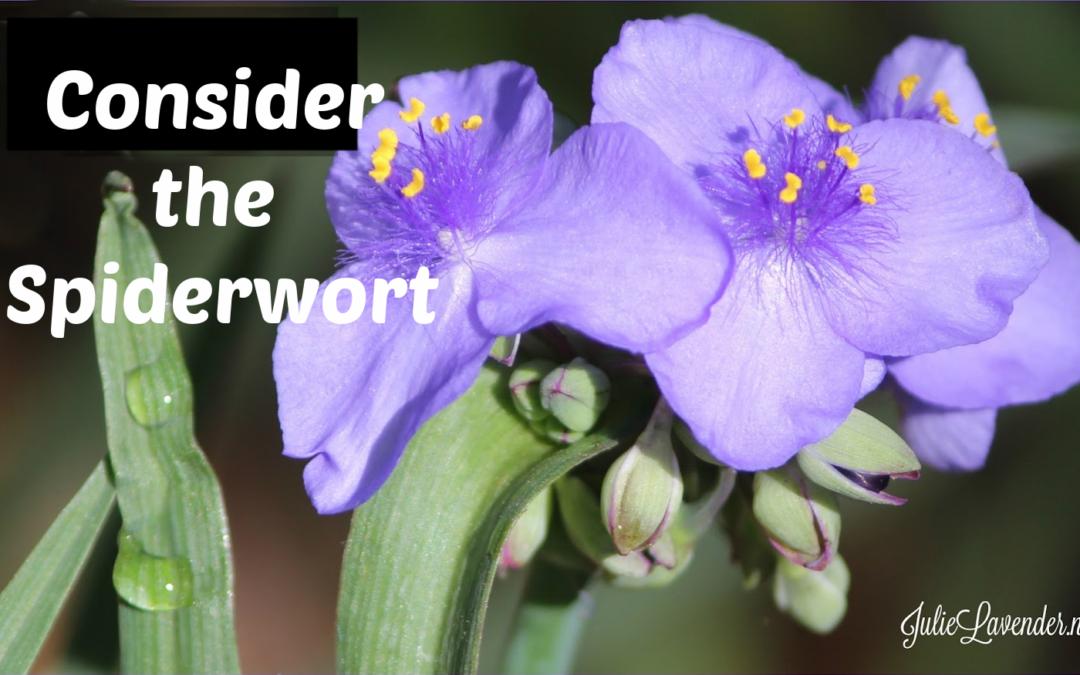 Consider the Spiderwort