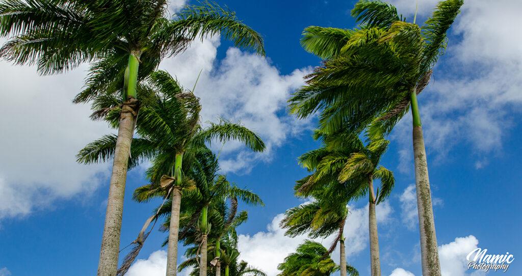 Barbados Palm Tree