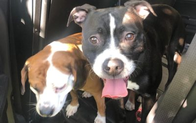 West Shore Regional Police looking to reunite dogs found touring Wormleysburg Borough