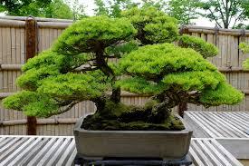 bonsai pinus