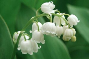 Tanaman hias Lily Of The Valley