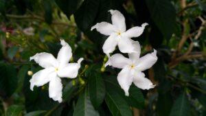 bunga Bintang