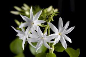 Bunga Melati Gambir (Jasminum officinale)