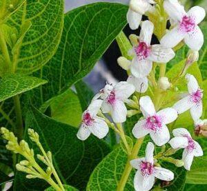 bunga Jepang