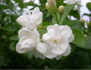 Bunga Melati Putih (Jasminum sambac)