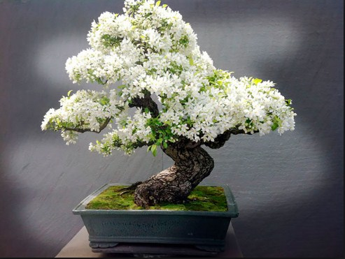 bonsai melati