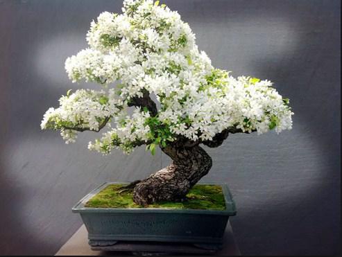 bonsai melati