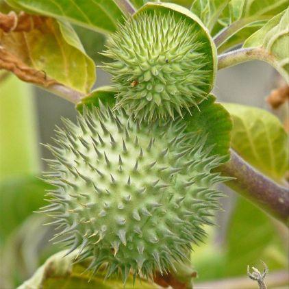 buah kecubung