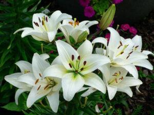 Tanaman hias Oriental Lily