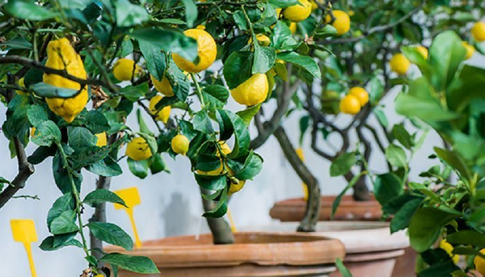 tanaman-buah