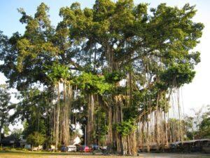 tanaman pohon beringin