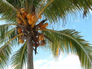 tanaman pohon kelapa