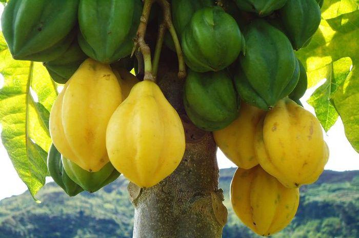 buah carica