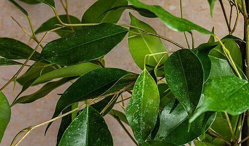 Ficus rontok