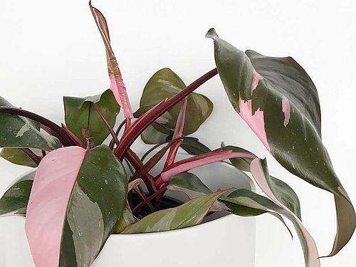 Gambar Philodendron Pink Princess