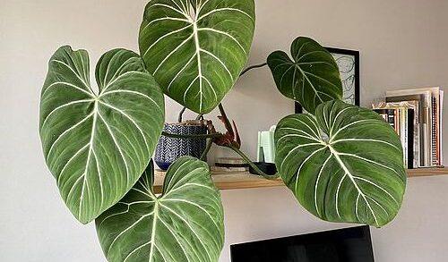 Harga Philodendron Gloriosum