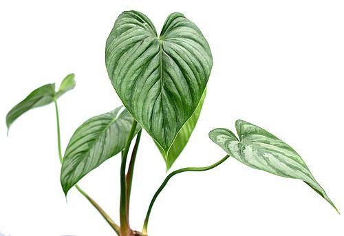 Harga Philodendron Sodiroi