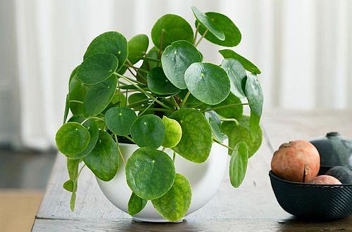 Jual tanaman pilea