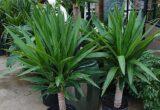 Tanaman Yucca