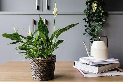 Tanaman peace lily