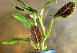 Harga Philodendron Subhastatum