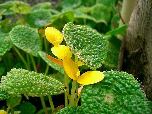 Ciri-ciri dan Harga Begonia Microsperma