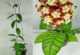 Ciri-ciri dan Harga Hoya Callistophylla