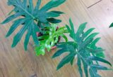 Ciri-ciri dan Harga Philodendron Radiatum