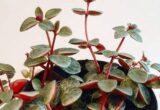 Harga Peperomia Rubella