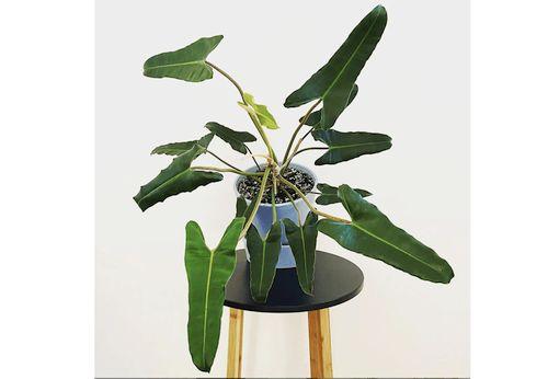 Harga Philodendron Atabapoense