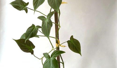 Harga Philodendron Camposportoanum