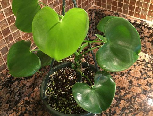 Harga Philodendron Grazielae